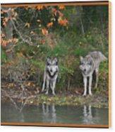 Autumn Wolf Study  Wood Print