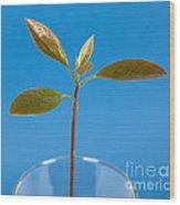 Avocado Seedling Wood Print