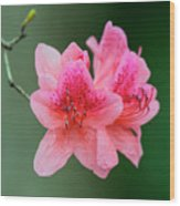 Azalea Blooms On A Green Background Wood Print