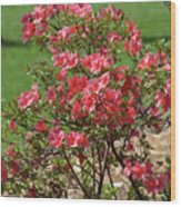 Azalea Bush 2  Wood Print
