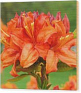 Azaleas Orange Red Azalea Flowers 11 Botanical Giclee Art Baslee Troutman Wood Print