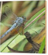 Azure Dragonfly 1 Wood Print