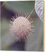 Babcock Wilderness Ranch - Buttonbush Wood Print