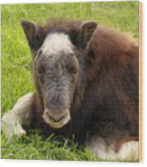 Baby Alaskan Musk Ox Wood Print