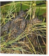 Baby Alligators Wood Print