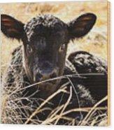 Baby Angus Calf Hideaway Wood Print