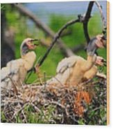 Baby Anhinga Chicks Wood Print