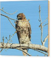 Baby Bald Eagle Wood Print