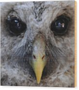 Baby Barred Owl 3 Wood Print