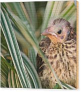 Baby Bird Peering Out Wood Print