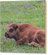 Baby Bison Wood Print