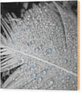 Baby Blue Dew Drops On Feather Wood Print