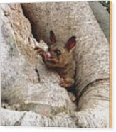 Baby Brushtail Possum Wood Print