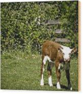Baby Calf 2 Wood Print