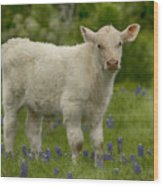 Baby Calf With Bluebonnets Wood Print