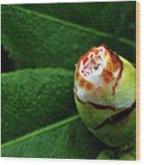 Baby Camellia Wood Print