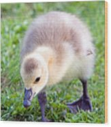 Baby Canada Goose Wood Print