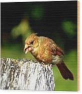 Baby Cardinal Wood Print