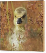 Baby Cuteness - Young Canada Goose Wood Print