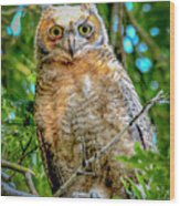Baby Great Horned Owl Wood Print