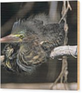 Baby Green Heron Resting On A Branch Wood Print