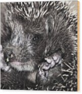 Baby Hedgehog Wood Print