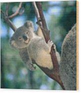 Baby Koala Bear Wood Print