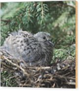 Baby Morning Dove Wood Print