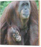Baby Orangutan Clinging To His Mother Wood Print