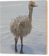 Baby Ostrich Wood Print