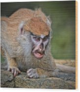 Baby Patas Monkey On Guard  Wood Print