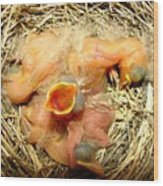 Baby Robins Newly Hatched Wood Print