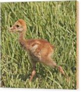Baby Sandhill Crane Wood Print