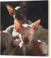 Baby Sphynx Cats  Wood Print