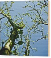 Baby Spring Tree Leaves 02 Wood Print