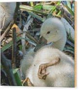 Baby Swan Resting Wood Print