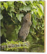 Baby Water Vole Stretching Up Wood Print