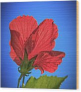 Back Lighting The Red Hibiscus  Wood Print