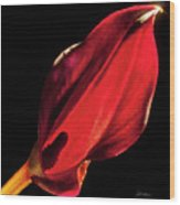 Back Lit Black Calla Lily Wood Print