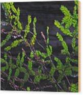 Back-lit Conifer Branches Wood Print