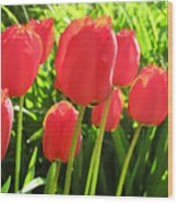 Back Lit Tulips 2 Wood Print