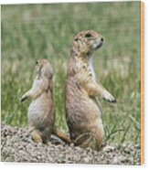 Back To Back Prairie Dogs Wood Print