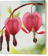 Backlight Bleeding Hearts Wood Print