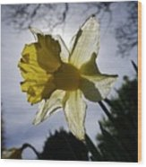 Backlit Daffodil Wood Print