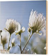 Backlit Fuzzy Flower Wood Print by Ray Laskowitz - Printscapes