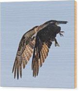 Backlit Osprey Takes Flight Wood Print