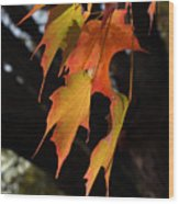 Backlit Sugar Maple Leaves With Trunk Wood Print