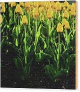 Backlit Tulips Wood Print