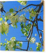 Backlit White Tree Blossoms Wood Print