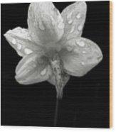 Backside Daffodil Dew Wood Print